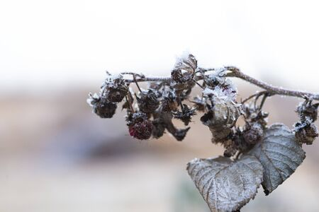 Raspberry bushes in frost macro, beaten crop