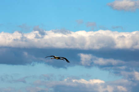 freely: The stork who is freely soaring among clouds Stock Photo