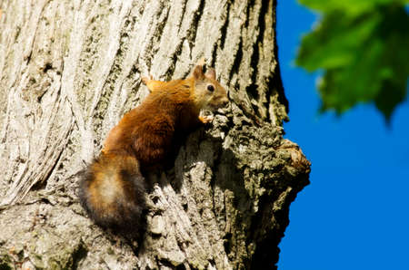 attentive: Squirrel on a tree. Attentive look of the squirrel jumping on a tree.