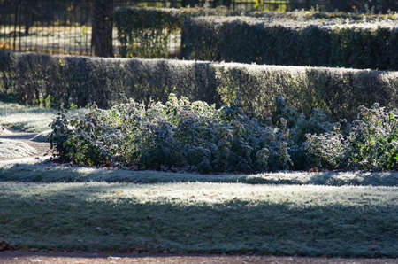 atmospheric phenomena: Hoarfrost on a lawn. The first morning frosts on a park lawn.