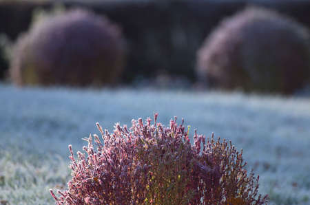 deposition: Florets in hoarfrost. The dropped-out hoarfrost has decorated flowers on a bed. Stock Photo