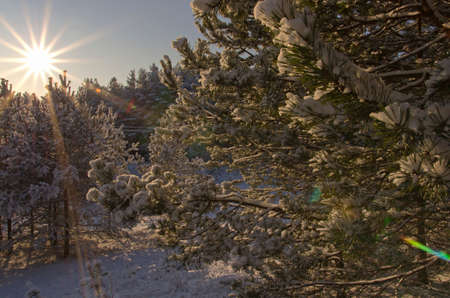 charmingly: The radiant morning sun lights the branches of fir-trees brought by snow