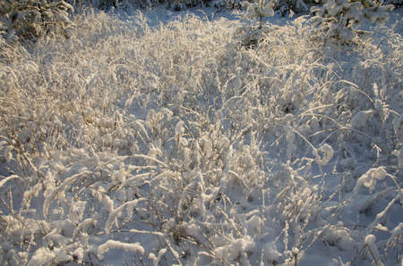 rising dead: The dry grass brought by snow in beams of a rising sun Stock Photo