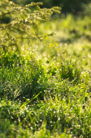 seasonality: Spring grass in the dew illuminated by the morning sun Stock Photo