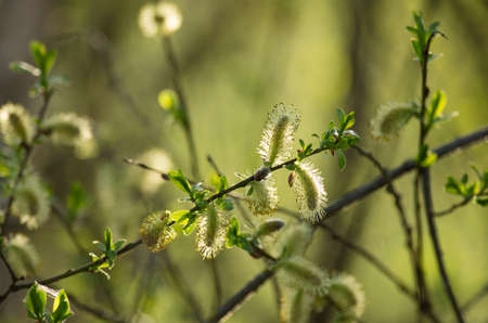 seasonality: Fluff the spring buds  on bush branches in a sunlight