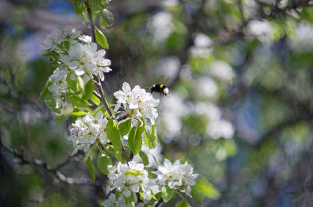 seasonality: The bumblebee collects pollen from the blossomed flowers of an apple-tree