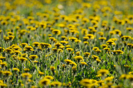 innumerable: A lot of blooming dandelions in the evening sunlight Stock Photo