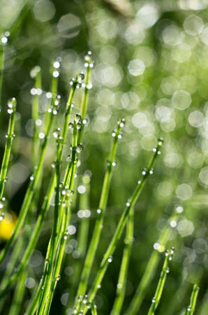 Stems of horsetail with dew drops early on a summer morning