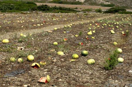 ロードス (ギリシャ) の 9 月の終わりに熟れと割れたスイカのプランテーション。