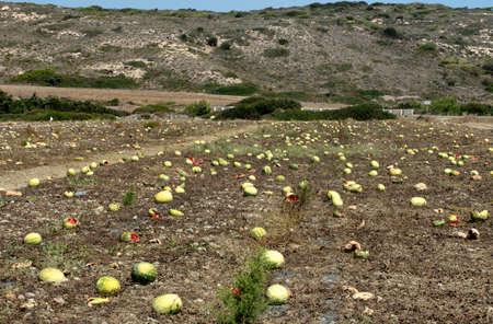 山(ギリシャ)を背景に、ロードスの9月末に熟したスイカを持つプランテーション。