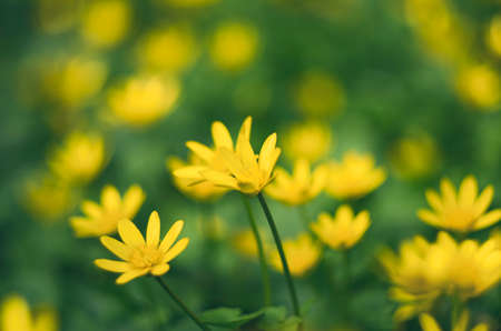 Yellow flowers of lesser celandine blooming in the spring on blurred background