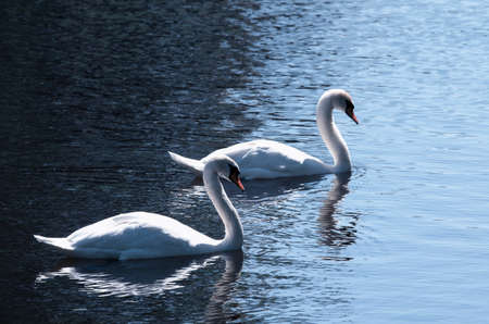 Couple of swans with the curved necks of the float lit by the sun