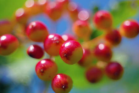 Red berries of viburnum ripen close-up in the summer with a beautiful bokeh