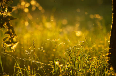 Spring evening landscape with stalks of cat grass and flying insects in the sunset light with beautiful bokeh Reklamní fotografie