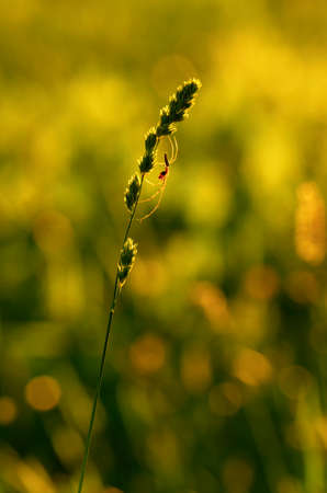 Silhouette of spider-tetragnatha on a green stem of orchard grass on the  green meadow
