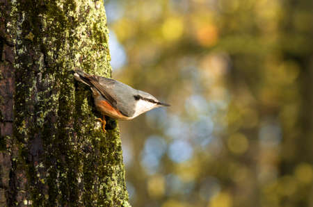 Nuthatch extended its beak clinging to the bark of a large tree trunk against a beautiful blurred background in the autumn