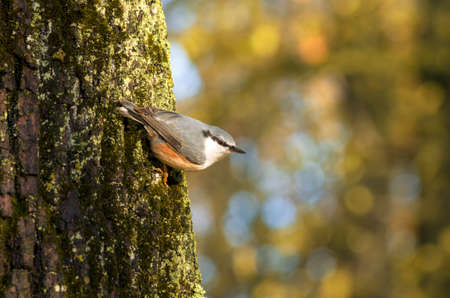 During Indian summer nuthatch stares intently clinging to the mossy bark of a tree on the background of beautiful bokeh