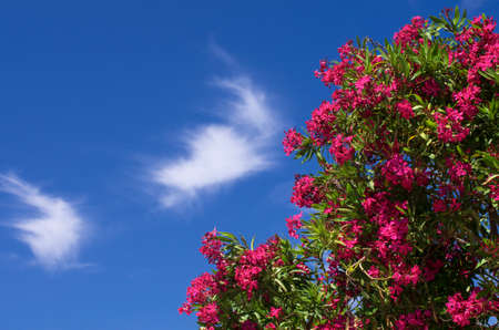 Scarlet flowers of spring oleander against a blue sky with white clouds