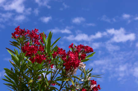 Beautiful red flowers of spring oleander against a blue sky with white clouds