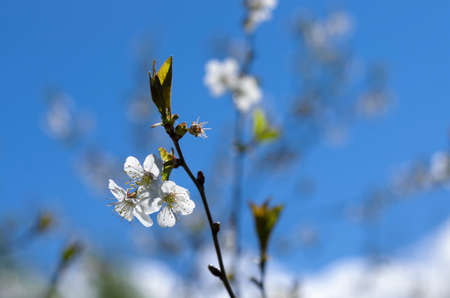 White cherry flowers with yellow stamens on a sunny spring day