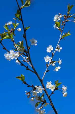 Spring cherry blossom on a sunny day in the background of a blue sky 스톡 콘텐츠