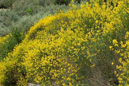 Spring flowering of the yellow spanish broom on the hillside (Rhodes, Greece)