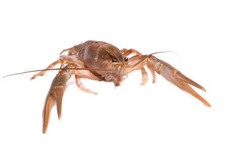 Live river crayfish on a white background Stock Photo