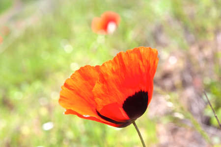 Field poppy Stock Photo