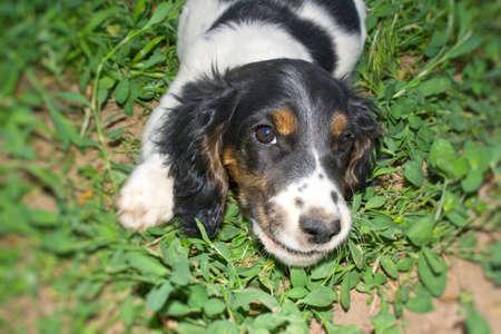 Puppy of a spaniel