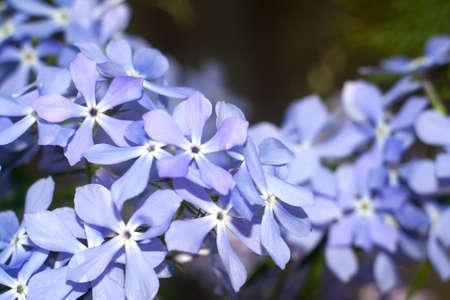 Blue phloxes Stock Photo