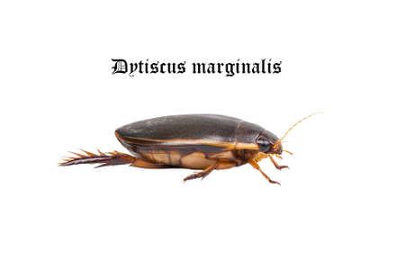 Water floating bug  Dytiscus marginalis  photo