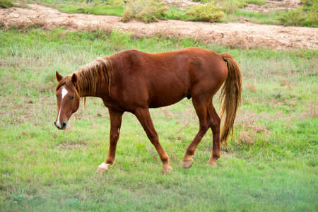 Horse grazing in desert steppe in the late autumn. photo
