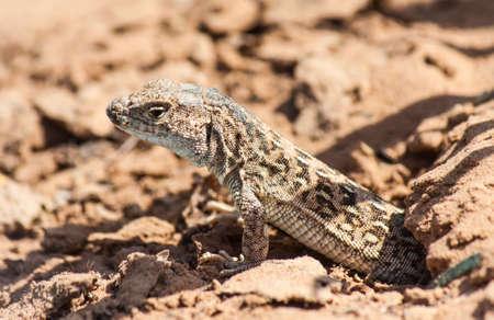 Little prairie lizard looks carefully got out of the mink