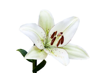 White lily flower isolated on white background Stock Photo