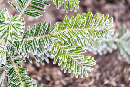 Young twigs of fir trees covered with frost first frost