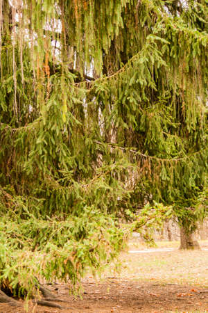 Branches of the spruce hanging down over the leaves earth Stock Photo