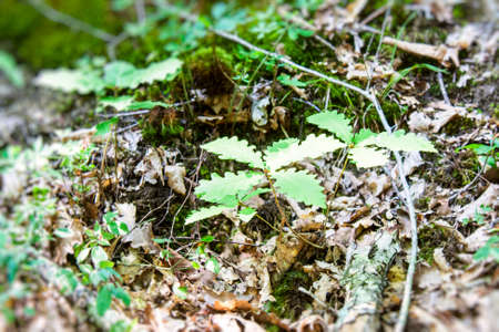 backwoods: Young sprouts of oak grown from the ground in the backwoods Stock Photo
