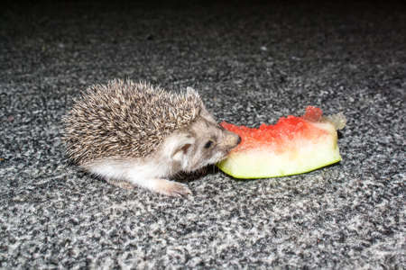 Little hedgehog is eating a slice of watermelon rinds on a carpet