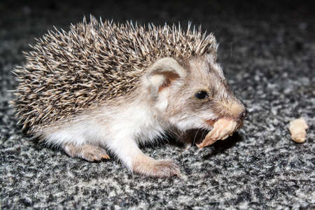 Little hedgehog is eating a piece of chicken on a carpet Stock Photo