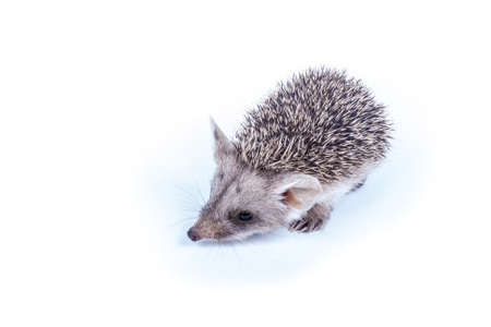 Photography little prickly hedgehog isolated on white background Stock Photo