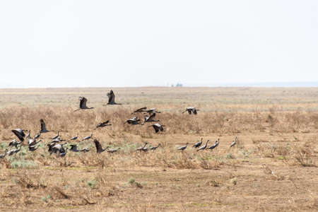 A large flock of Eurasian cranes in the desert steppe areas Stock Photo