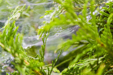 raindrops foreground with a blurred focus on the spiders web stretched between plants Stock Photo