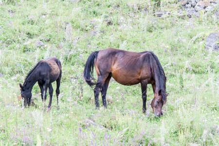 Pregnant horse with foal grazing on the hillside amidst the grass