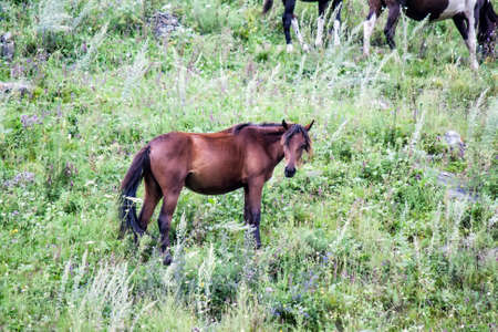 A young foal grazing in the summer on a slope