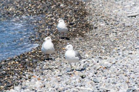 Sea gull on a pebble seaside summer day Stock Photo