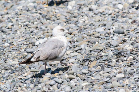 Sea gull on a pebble seaside summer day Stock Photo