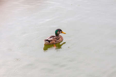 The duck floats on the water in rainy overcast weather Stock Photo