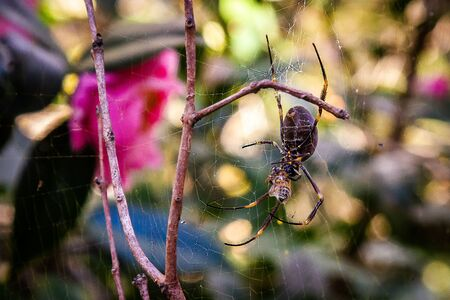 Huge spiders in the forests of Australia