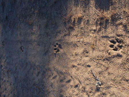 Four dog footprints in the sand of a forest road photo