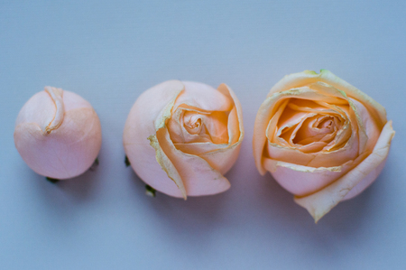 Three stages the rose flowering. Concept: life, relations. love, health, friendship.